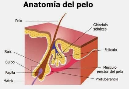 Anatomía-del-folículo-piloso
