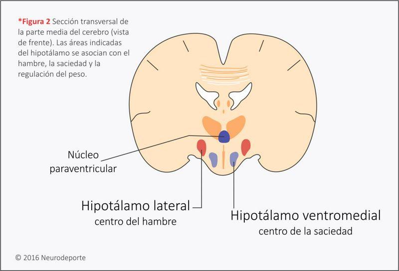 hipotalamo hambre y saciedad