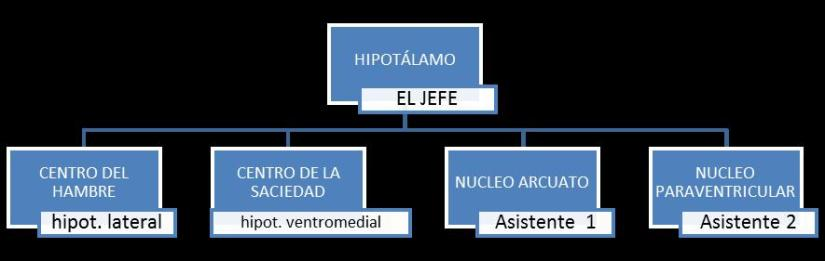 organigrama hipotalamo